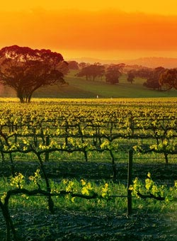 Sunset on an Australian vineyard - Australian Wines