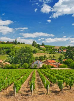 A vineyard in Beaujolais - Beaujolais Wines