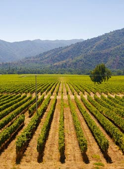 A Chilean vineyard - Chilean Wines
