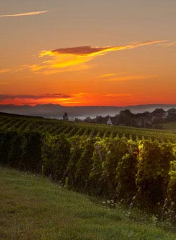 A French Vineyard at Sunset - French Wines
