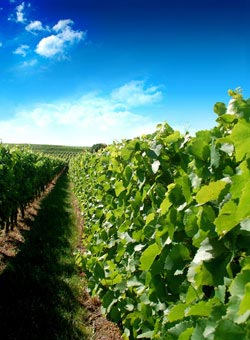 A German vineyard - German Wines