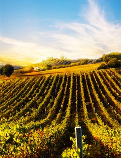 An Italian vineyard at sunset - Italy Wines