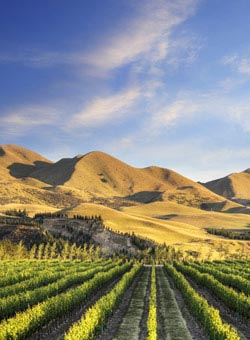 A scenic New Zealand vineyard - New Zealand Wines