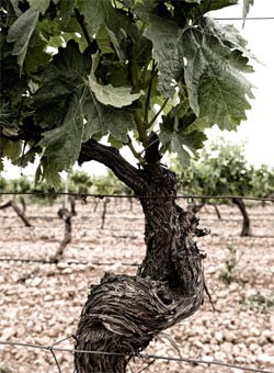Spanish vines - Ribera del Duero Wines