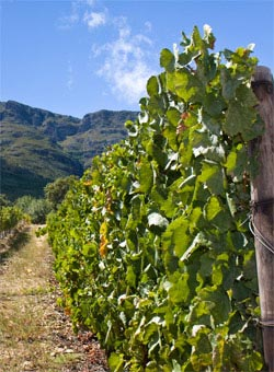 A South African Vineyard - South African Wines