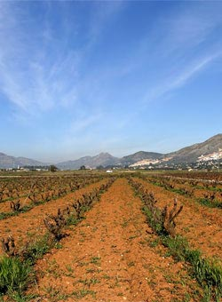 Old vines in Spain - Spanish Wines